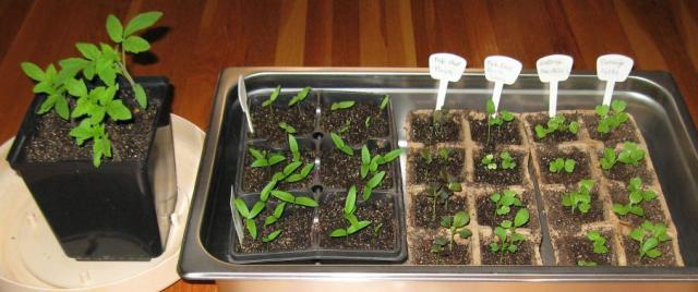 tomato, pepper, eggplant, and cabbage seedlings