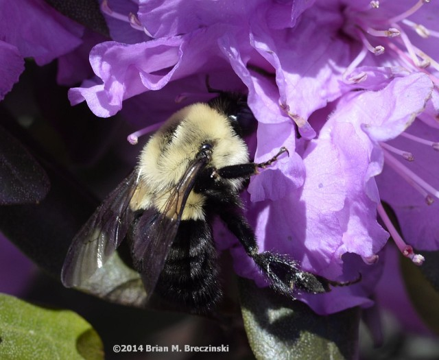 bumblebee in purple azalea