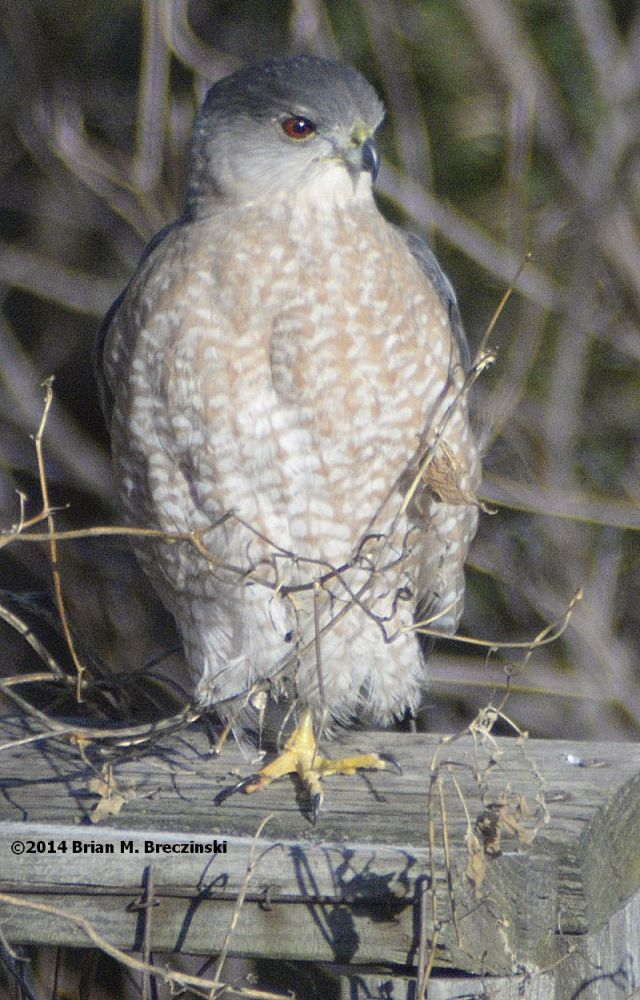 Cooper's Hawk on trellis